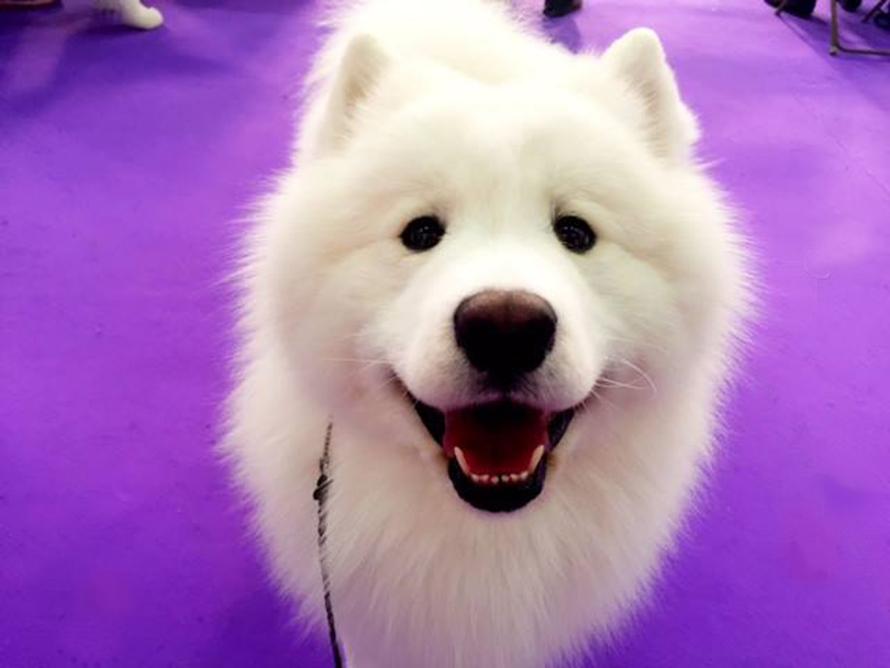 westminster dog show 2019